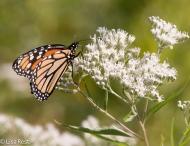 Monarch Portage 09-02-17-3757