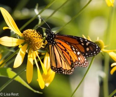 Monarch Portage 09-03-17-4567