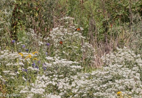 Monarchs Portage 09-02-17-3935