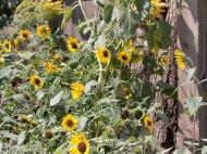 One Huge Sunflower Plant Yard 09-01-17-3490