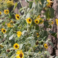 One Huge Sunflower Plant Yard 09-01-17-3490
