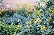 Yard with Huge Sunflower 09-07-17-5154