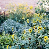 Yard with Huge Sunflower 09-07-17-5154