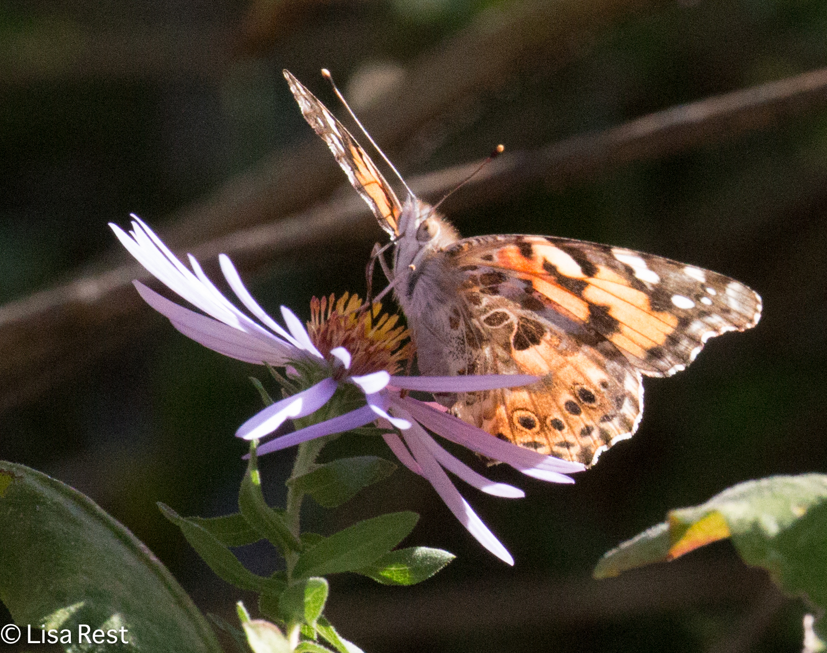 Painted Lady Butterfly 10-21-17-6765