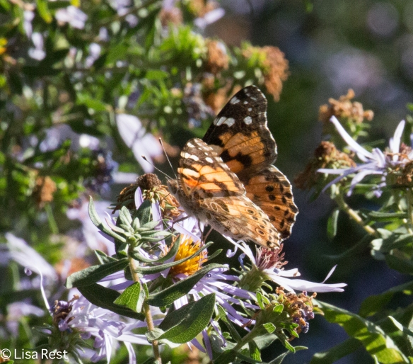 Painted Lady Butterfly 10-21-17-6782