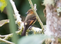 Cinnamon Flycatcher 11-21-17-0545