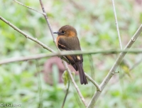 Cinnamon Flycatcher 11-21-17-0554