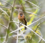 Cinnamon Flycatcher 11-21-17-0566
