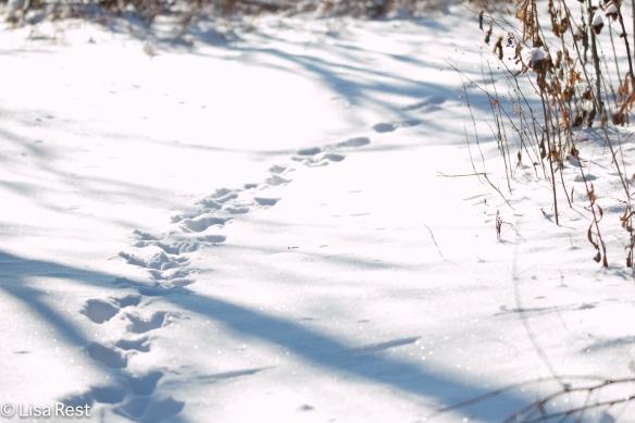 Deer Tracks 12-25-17-3451