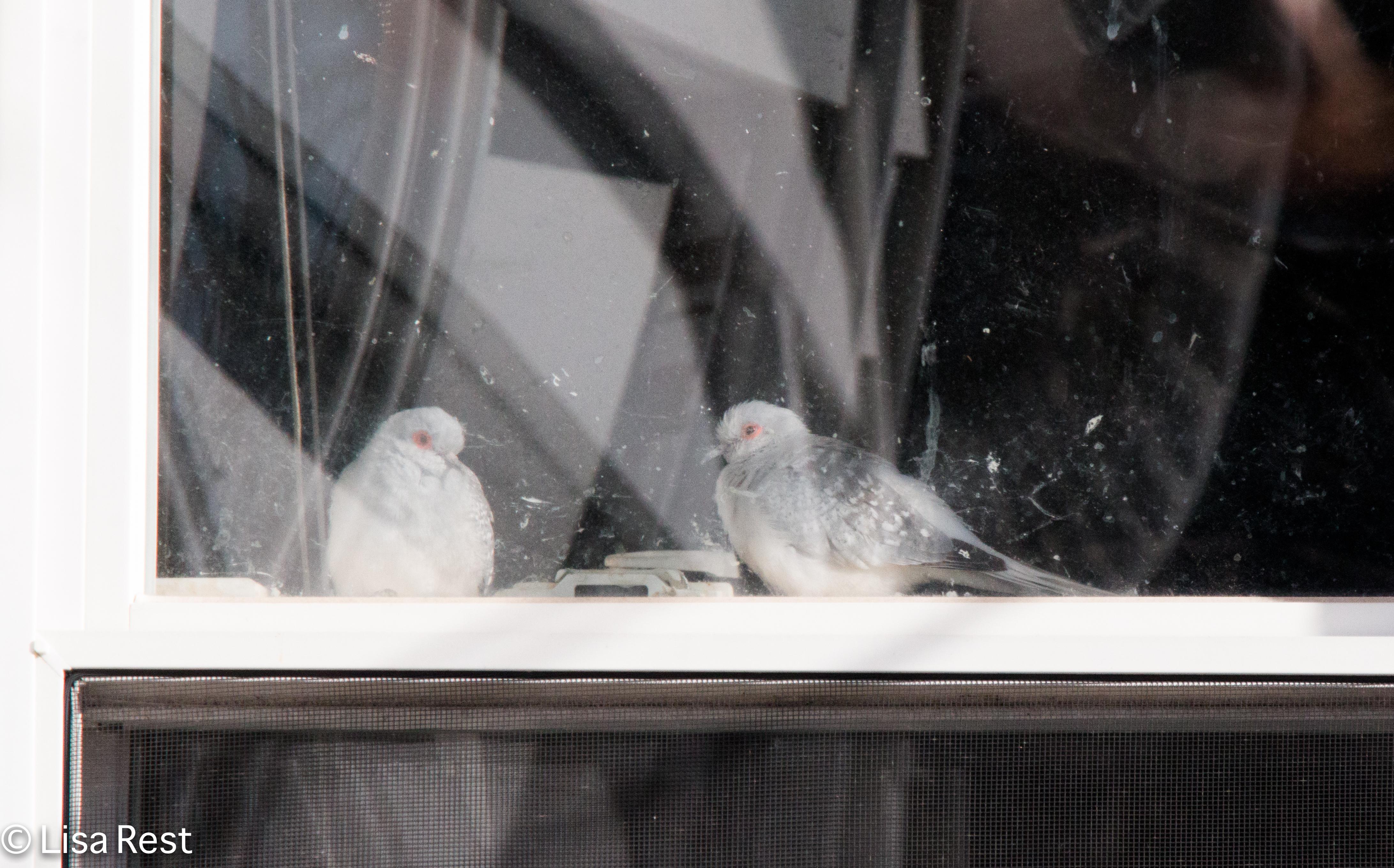 Doves in window 1-1-18-4090