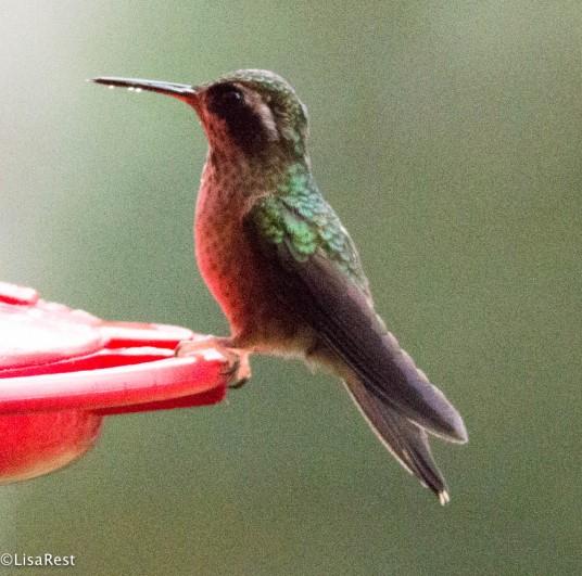 Speckled Hummingbird 11-21-2017-9459