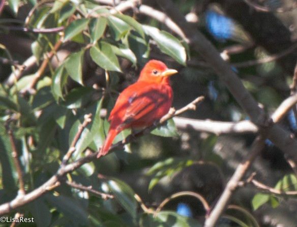 Summer Tanager 11-19-17-7701