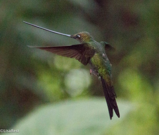 Sword-billed Hummingbird 11-19-2017-8471
