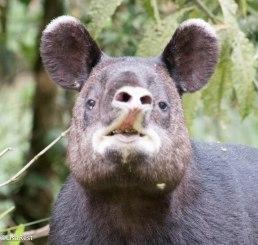 Tapir 11-19-17-8610