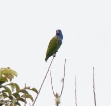 Blue-headed Parrot 11-24-2017-1031