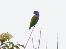 Blue-headed Parrot 11-24-2017-1037