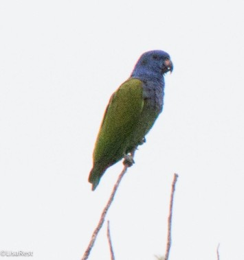 Blue-headed Parrot 11-24-2017-1044