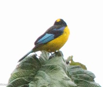 Blue-winged Mountain Tanager 11-23-2017-0793