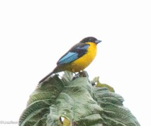 Blue-winged Mountain Tanager 11-23-2017-0795