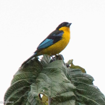 Blue-winged Mountain Tanager 11-23-2017-0798