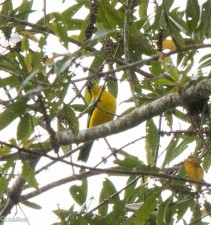 Blue-winged Mountain-Tanager 11-24-2017-0996