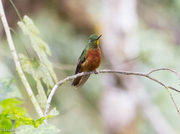 Chestnut-breasted Coronet 11-23-2017-0629