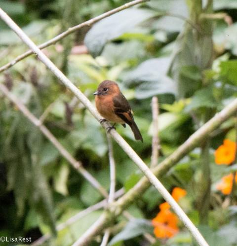 Cinnamon Flycatcher San Isidro 11-23-17-0697