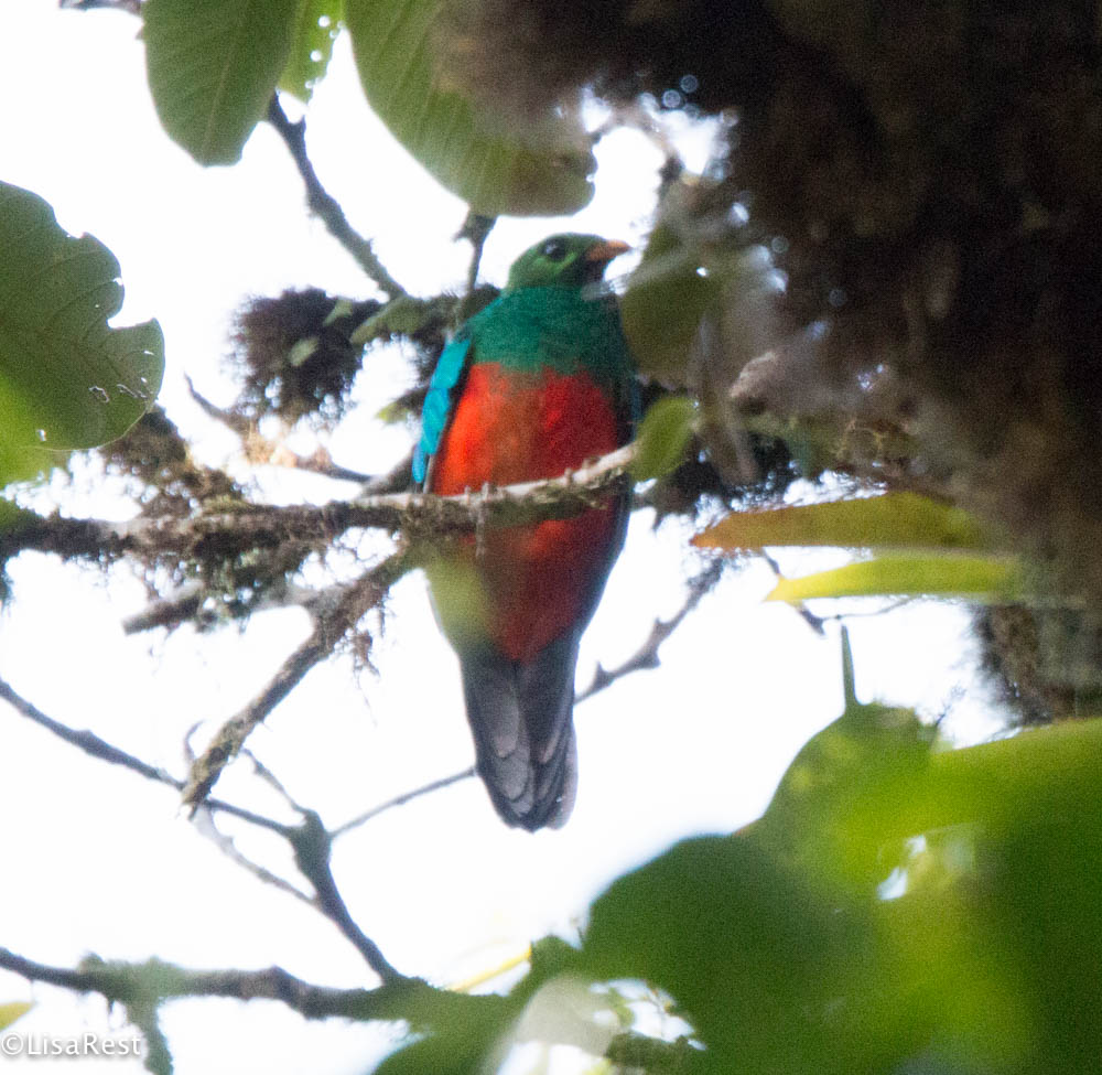 Crested Quetzal 11-22-2017-0444