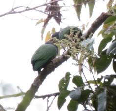 Crested Quetzals 11-23-2017-0642