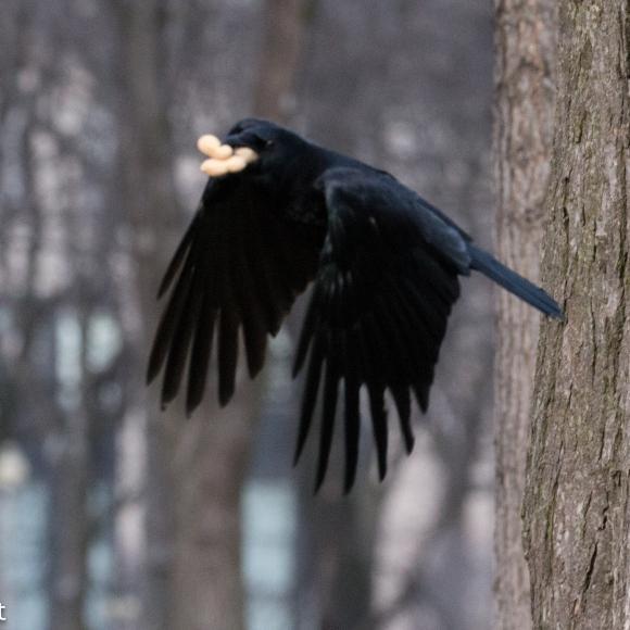 Crow 02-25-2018-6338