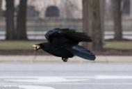 Crow 02-25-2018-6341