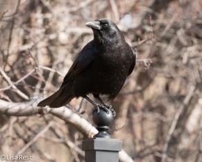 Crow 02-25-2018-6443