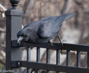 Crow 02-25-2018-6445