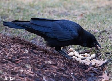 Crow 02-25-2018-6455
