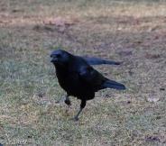 Crow 02-25-2018-6459