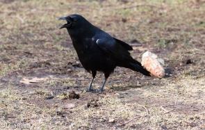 Crow 02-25-2018-6466