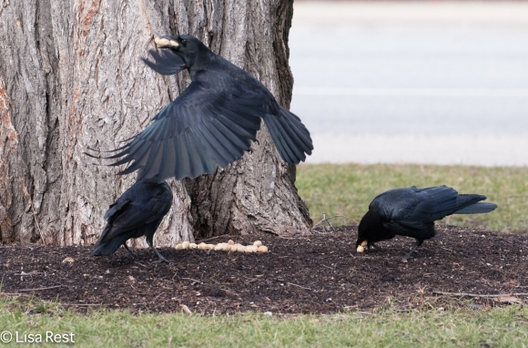Crows 02-25-2018-6373