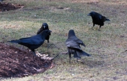Crows 02-25-2018-6458