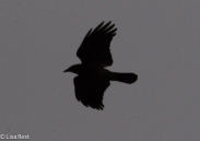Flying Crow 02--25-2018-6322