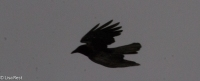 Flying Crow 02--25-2018-6324