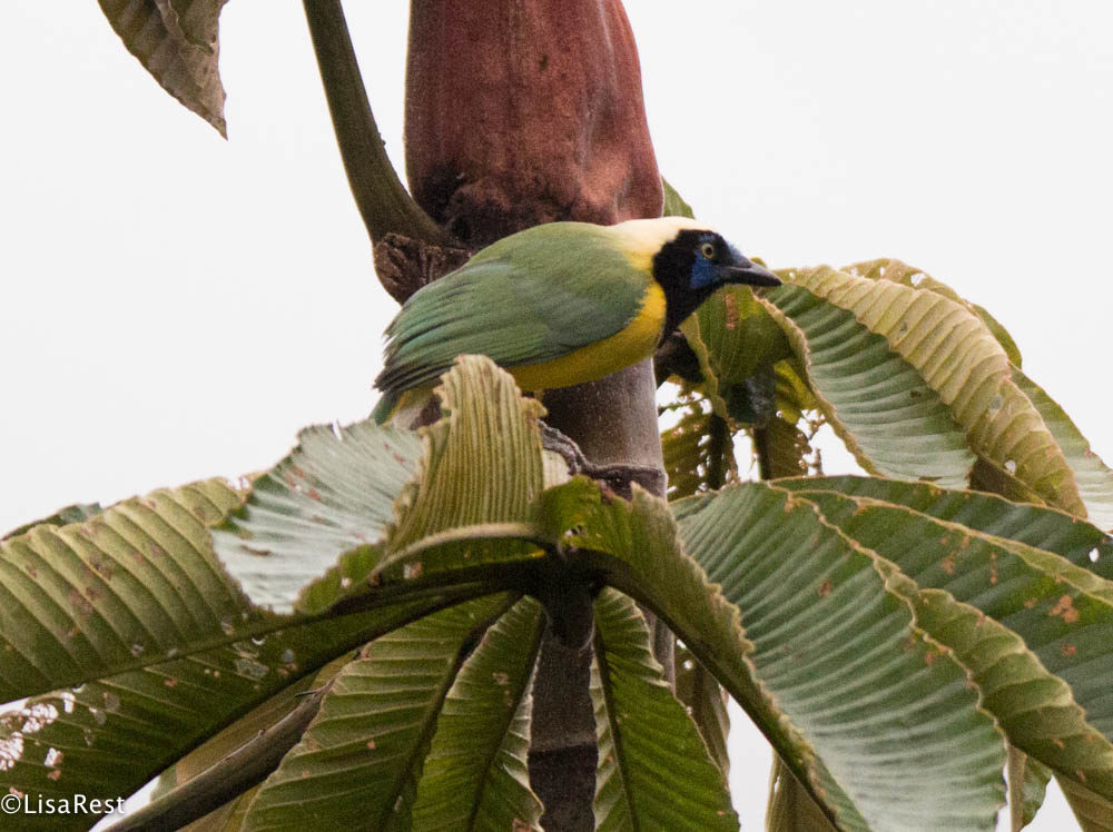 Green Jay in palm 11-23-2017-0479