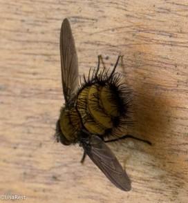 Hairy bug 11-22-2017-0598