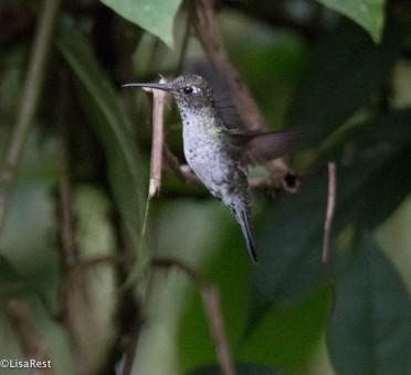 Many-spotted Hummingbird 11-24-2017-1594