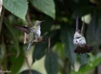 Many-spotted Hummingbird 11-24-2017-1706