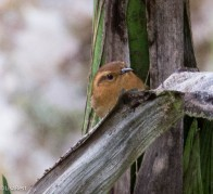 Mountain Wren 11-23-2017-0690