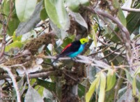Paradise Tanager 11-24-2017-1318