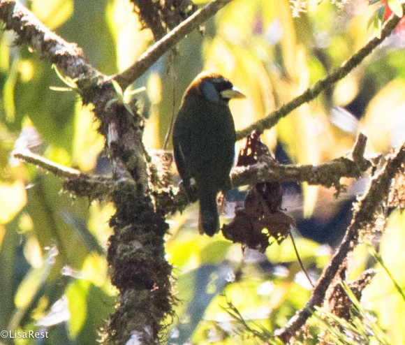 Red-headed Barbet 11-22-2017-0250