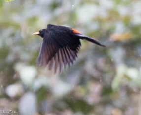 Scarlet-rumped Cacique 11-23-2017-0633