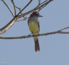 Short-crested Flycatcher 11-22-2017-0359