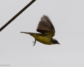 Social Flycatcher 11-24-2017-1122
